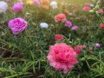 美丽的五颜六色的portulaca花在有阳光的庭院里 库存照片