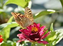 美丽的从花的蝴蝶饮用的花蜜 库存照片