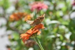 美丽的从花的蝴蝶饮用的花蜜 免版税库存图片