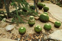 美丽的仙人掌树在室外庭院和公园里 免版税库存图片