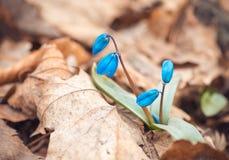 美丽的会开蓝色钟形花的草在春天森林自然背景中 库存图片