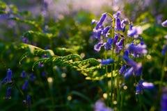 美丽的会开蓝色钟形花的草在春天森林,与bo的自然本底里 库存照片