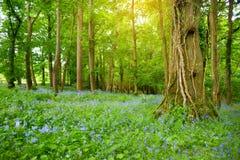 美丽的会开蓝色钟形花的草在Ducketts树丛、一个被破坏的19世纪伟大的房子和前庄园庭院里开花开花在怒火 库存照片