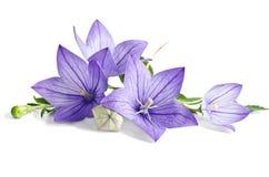 美丽的会开蓝色钟形花的草 库存照片