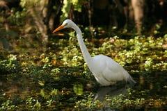 美丽的伟大的白鹭在佛罗里达沼泽地 库存图片