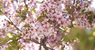 美丽的佐仓樱桃树开花 免版税库存图片