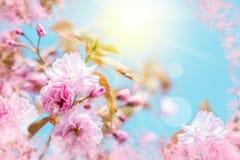 美丽的佐仓花樱花 贺卡背景模板 浅深度 被定调子的软性 分行明亮的开花的绿色本质春天结构树 库存图片