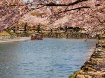 美丽的佐仓开花在彦根,日本1 图库摄影