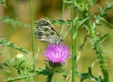 美丽的使有大理石花纹的白色蝴蝶坐一朵桃红色花 免版税库存照片