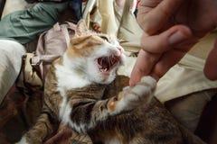 美丽的使用用妇女手和咬住她的姜恼怒的猫激动滑稽的 库存图片