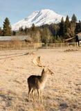 美丽的允诺的野生生物男性大型装配架麋鹿角垫铁山 免版税图库摄影