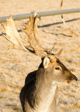 美丽的允诺的野生生物年轻男性大型装配架鹿鹿角垫铁 库存照片