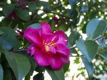 美丽的充满活力的桃红色日本山茶花花 库存照片