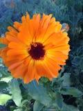 美丽的充满活力的橙色野花有绿色背景 免版税图库摄影