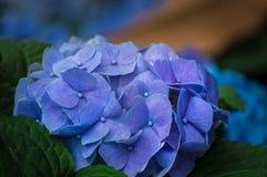 美丽的八仙花属花在庭院里开花 库存照片
