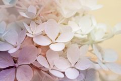 美丽的八仙花属paniculata 免版税库存照片