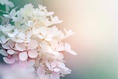 美丽的八仙花属paniculata 库存图片