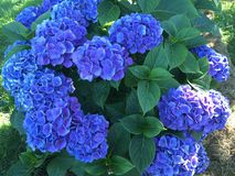 美丽的八仙花属 免版税库存照片