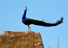 美丽的公孔雀(孔雀)鸟 免版税库存照片