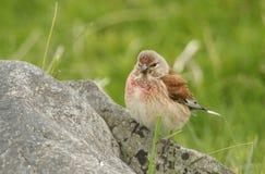 美丽的公红雀, Carduelis cannabina,在岩石栖息 免版税图库摄影