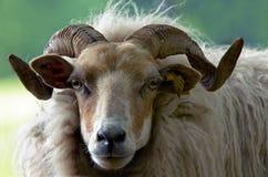 美丽的公羊 免版税库存图片