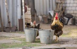 美丽的公鸡在绿草的一个仓前空地围场站立 图库摄影