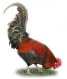 美丽的公鸡 免版税库存图片