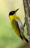公黑带头的啄木鸟 免版税库存图片