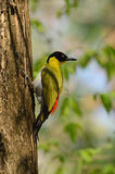 公黑带头的啄木鸟 库存照片