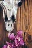 美丽的兰花在与金属母牛头骨头的土气木背景开花 图库摄影