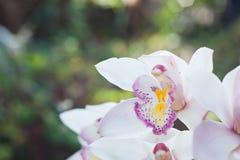 美丽的兰花花被认为花的女王/王后 库存图片