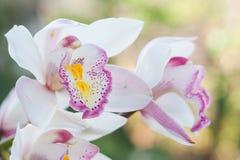美丽的兰花花被认为花的女王/王后 免版税库存图片