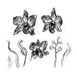 美丽的兰花 在白色背景黑色等高剪影隔绝的手拉的集合 向量 皇族释放例证
