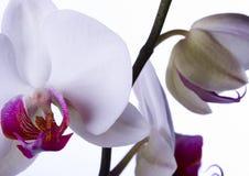 美丽的兰花 免版税库存图片