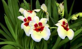 美丽的兰花 库存图片