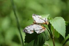 美丽的共同的地图cyrestis thyodamas蝴蝶 图库摄影