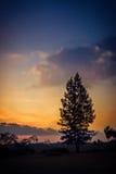 美丽的冷杉有日落背景 免版税库存照片
