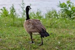 美丽的加拿大鹅 库存图片
