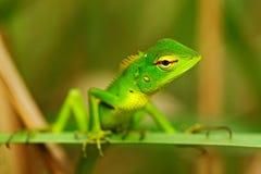 美丽的动物在自然栖所 从深绿色庭院蜥蜴, Calotes calotes,异乎寻常的tr的细节眼睛画象的蜥蜴 免版税库存图片