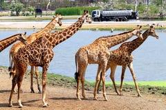 美丽的动物长颈鹿在泰国 免版税库存图片