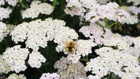 美丽的勤勉蜂蜜蜂 免版税图库摄影