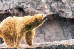 美丽的北极熊在动物园里 库存照片