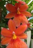 美丽的单子叶植物植物花Orchidà ¡ ceae大家庭宏观照片有瓣的上色了橙色树荫 免版税库存图片