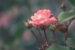 美丽的单独花,桃红色红色庭院在轻的背景的晚上光上升了日历的 哥特式样式 免版税图库摄影