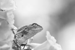 美丽的单色有胡子的龙蜥蜴介于中间的黄色花 库存照片