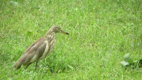 美丽的印地安鸟 免版税图库摄影