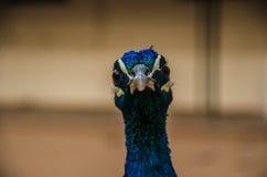 美丽的印第安公孔雀 免版税库存照片