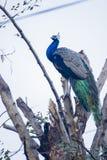 美丽的印第安孔雀 库存照片