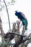 美丽的印第安孔雀 免版税库存照片