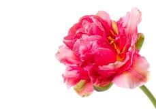 美丽的双牡丹粉红色郁金香 免版税库存图片